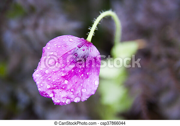 Purple poppies purple poppies csp37866044 mightylinksfo