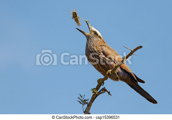 Purple roller sit on branch eating grasshopper - csp15396531