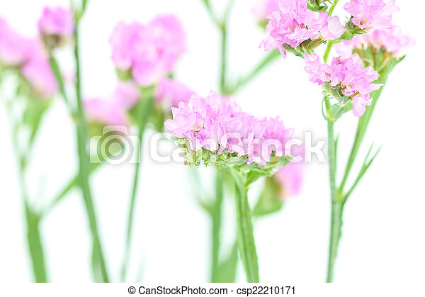 Purple statice flowers isolated on white background mightylinksfo