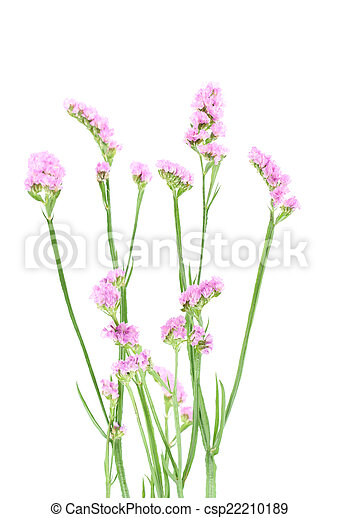 Purple statice flowers isolated on white background mightylinksfo