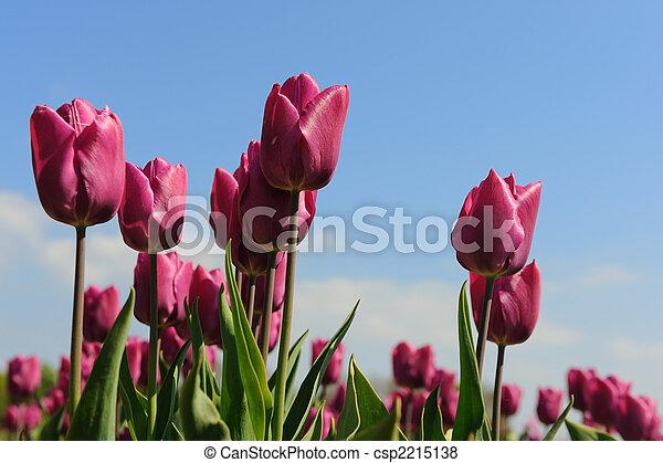 Purple tulips in Holland - csp2215138