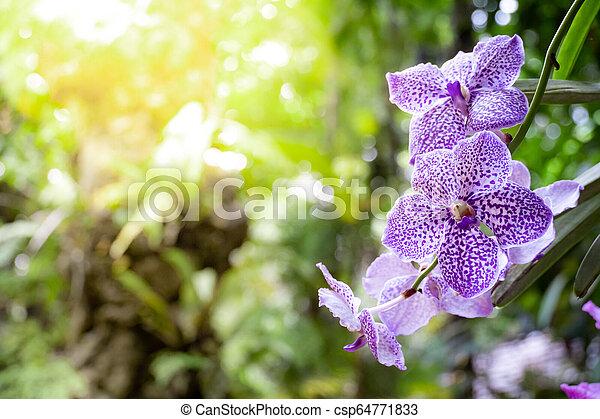 Purple vanda orchids in the garden - csp64771833