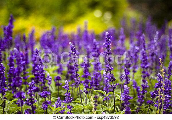 Purple veronica speedwell flowers tall purple veronica stock purple veronica speedwell flowers csp4373592 mightylinksfo