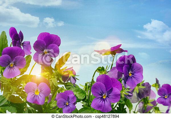 Purple violets against a sky background - csp48127894