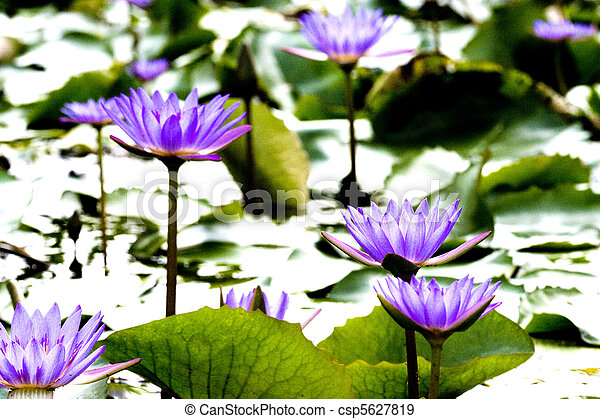 Purple Water Lilies - csp5627819