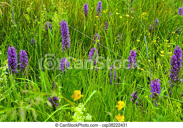 Purple wild orchid flowers on the meadow - csp38222431