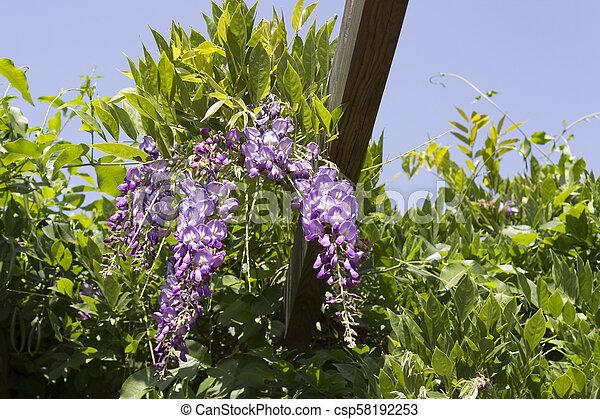 Purple Wisteria In Beautiful Flower Garden For Spring Season