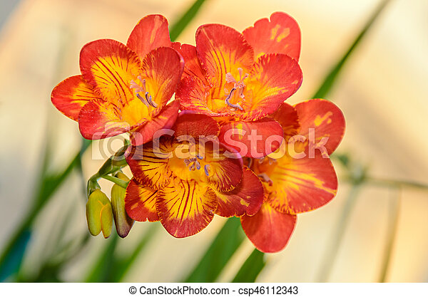 Purple With Yellow Freesia Flower Window Background Green Plant