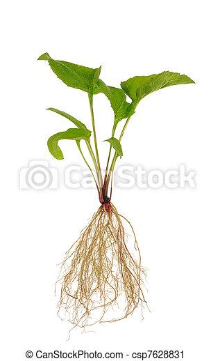 purpurea, 背景, echinacea, 白, 上に, 実生植物 - csp7628831