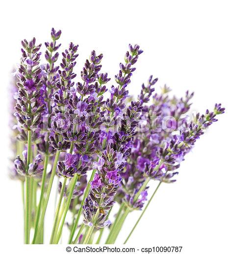 purpurne blumen lavendel lila lavendel freigestellt. Black Bedroom Furniture Sets. Home Design Ideas