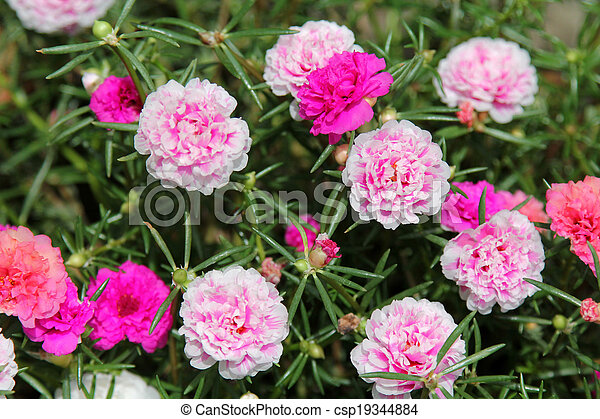 Musgo-rose purslane - csp19344884