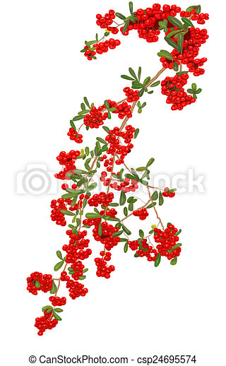 Pyracantha plant 1 - csp24695574