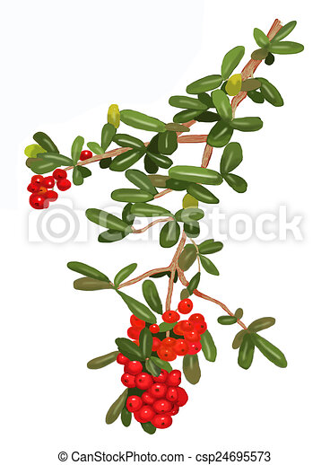 Pyracantha plant 2 - csp24695573