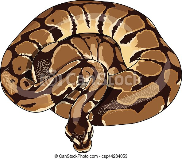 Python. The spotted python curled in a ring.