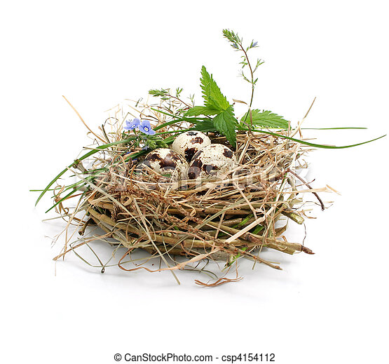 quail eggs in a nest isolated on white - csp4154112
