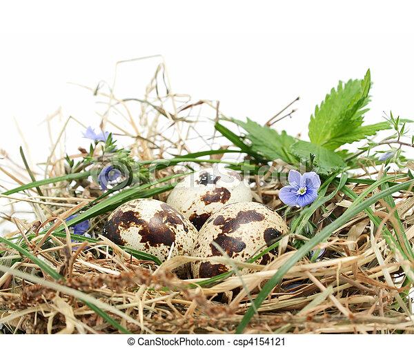 quail eggs in a nest - csp4154121