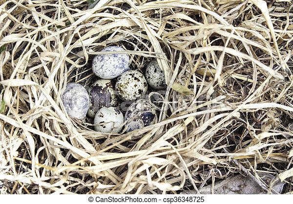 Quail eggs in a nest - csp36348725