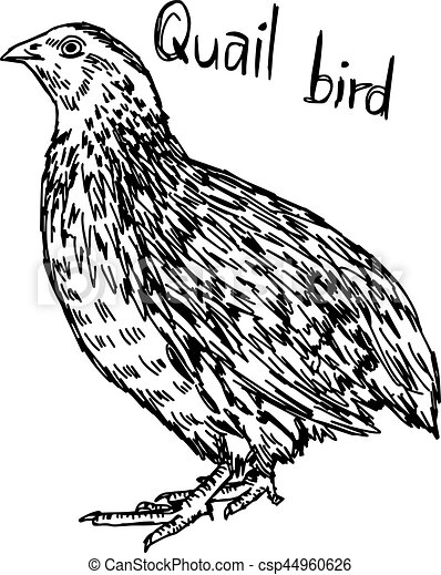 quail vector illustration sketch hand drawn with black lines