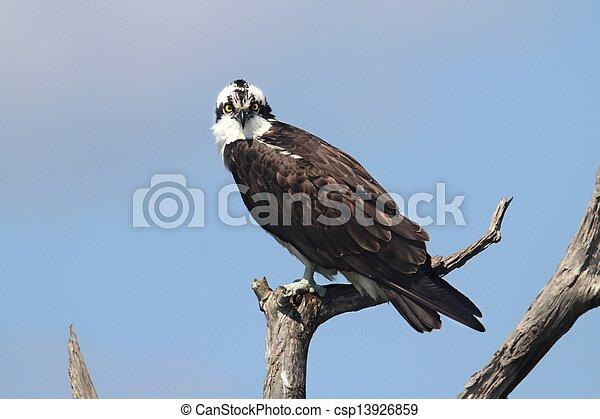 Osprey en un árbol - csp13926859