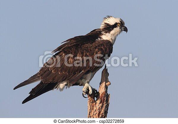Osprey en un árbol - csp32272859