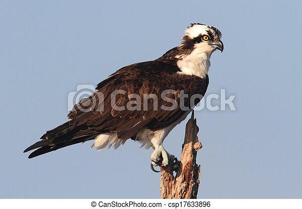 Osprey en un árbol - csp17633896