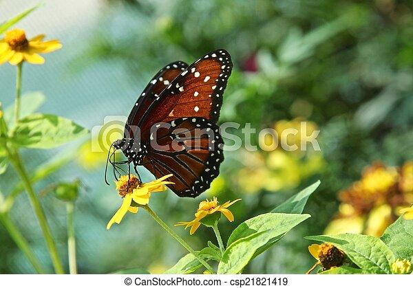 Queen butterfly - csp21821419