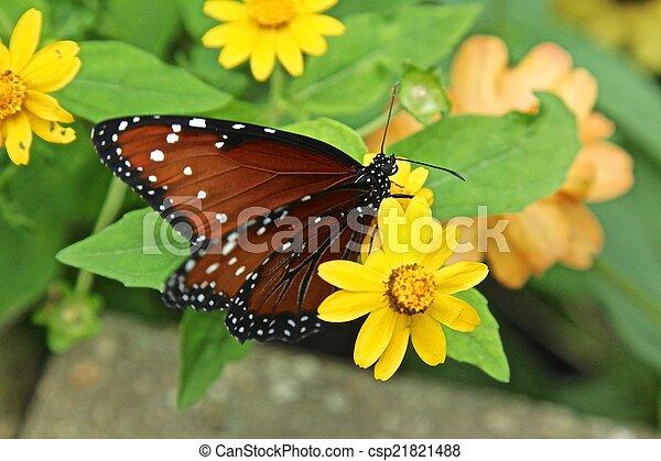 Queen butterfly - csp21821488