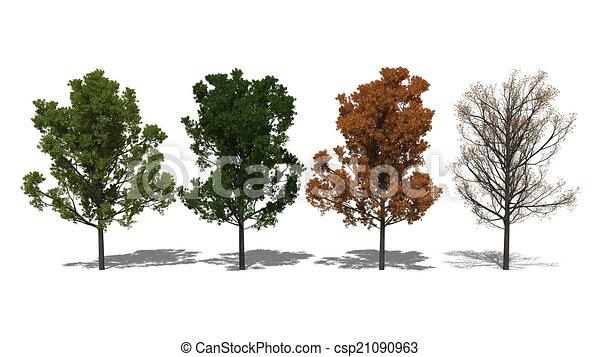 Quercus rubra (Four Seasons) - csp21090963