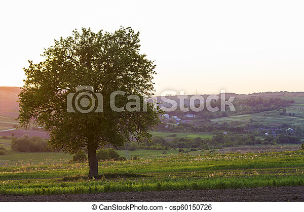 Quiet and peaceful view of beautiful big green tree at sunset growing alone in spring field on distant small village between green gardens and hills background. Beauty and harmony of nature concept. - csp60150726