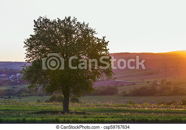 Quiet and peaceful view of beautiful big green tree at sunset growing alone in spring field on distant hills bathed in orange evening sunlight and high voltage lines stretching to horizon background. - csp59767634