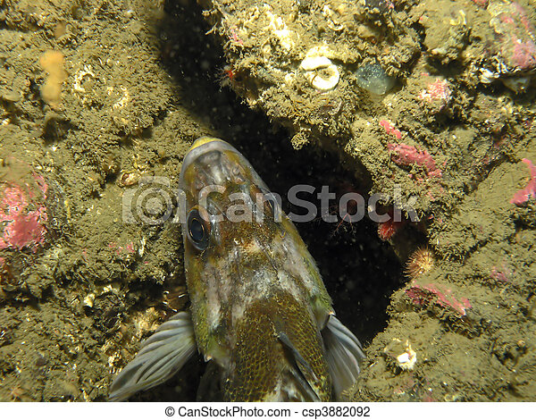 Quillback Rockfish      - csp3882092