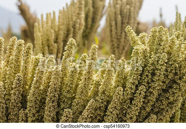quinoa pflanze