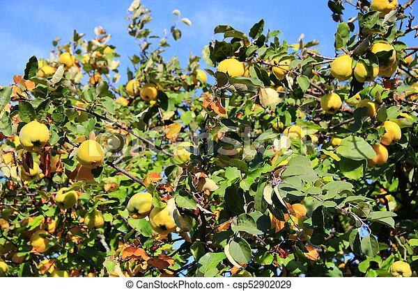 Quitte Baum Ernte Reif Baum Ernte Reich Früchte Quitte