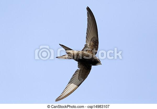 Swift, apus apus - csp14983107