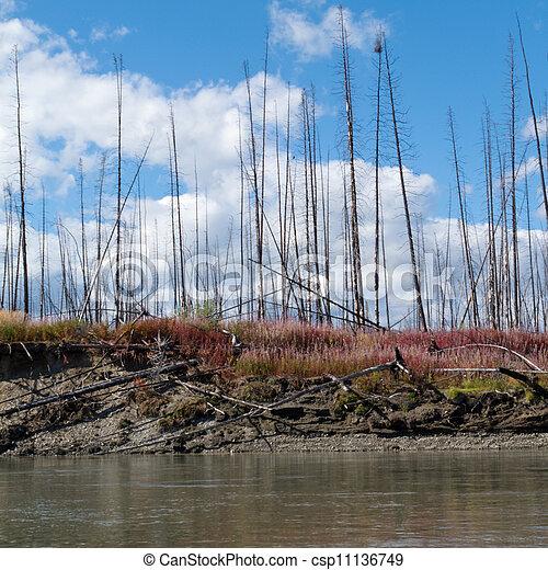 Taiga quemada en el territorio de la ribera central de Yukon - csp11136749