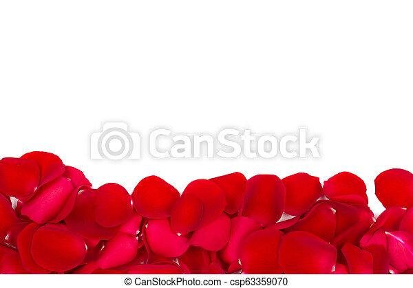 róża, biały, odizolowany, płatki - csp63359070