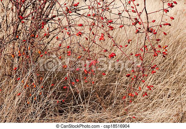 róża, (rosa, sweetbriar, biodra, rubiginosa) - csp18516904