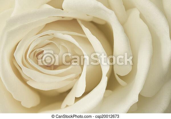 róża, wizerunek, śmietanka, do góry szczelnie - csp20012673