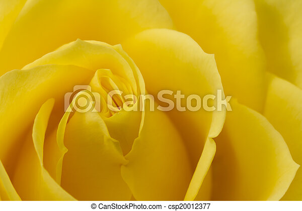 róża, wizerunek, do góry, żółty, zamknięcie - csp20012377