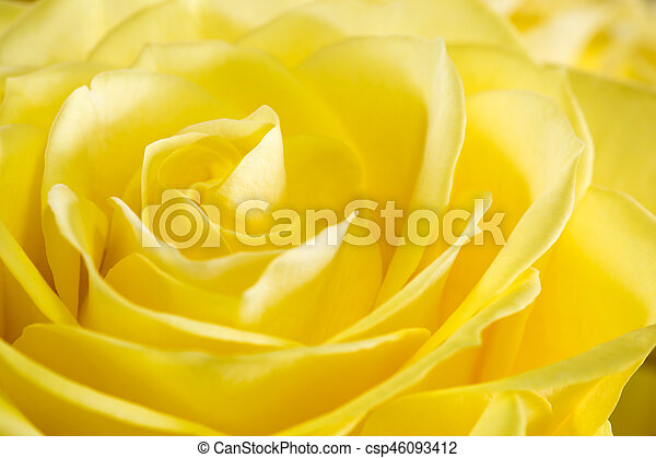 róża, wizerunek, do góry, żółty, zamknięcie - csp46093412