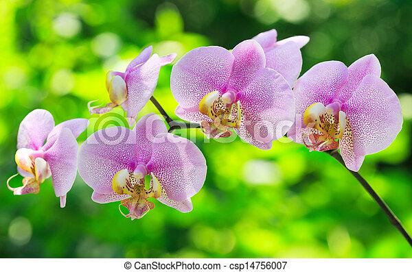 różowa orchidea - csp14756007