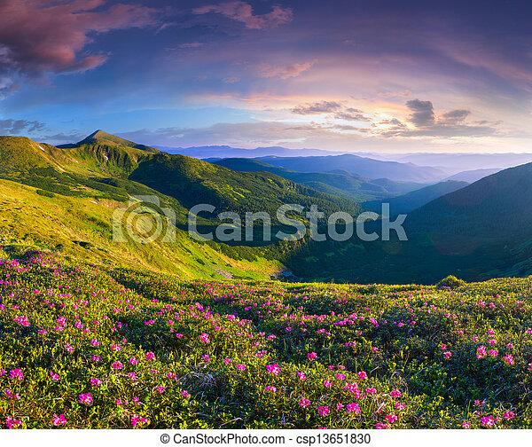 różowy, lato, rododendron, magia, kwiaty, góry., wschód słońca - csp13651830