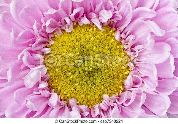 różowy, wizerunek, do góry, żółty, chryzantema, zamknięcie - csp7340224