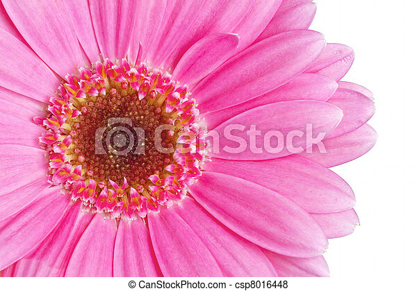 różowy, zamknięcie, wizerunek, do góry, gerbera - csp8016448