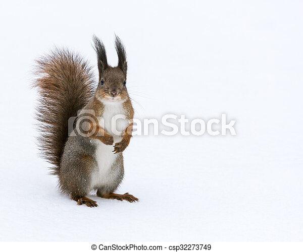 66718ecf8a7 Rød, poser, egern, baggrund, sne. Beliggende, liden, egern, park ...