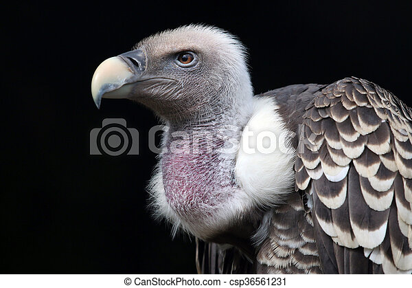 Rüppell's vulture - csp36561231