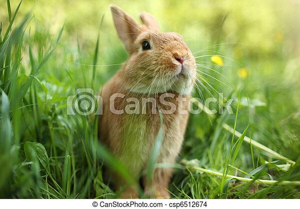 Rabbit in green grass - csp6512674