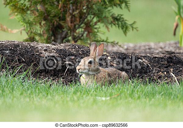 Rabbit in the Backyard - csp89632566