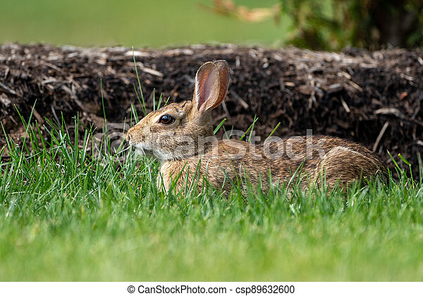 Rabbit in the Backyard - csp89632600