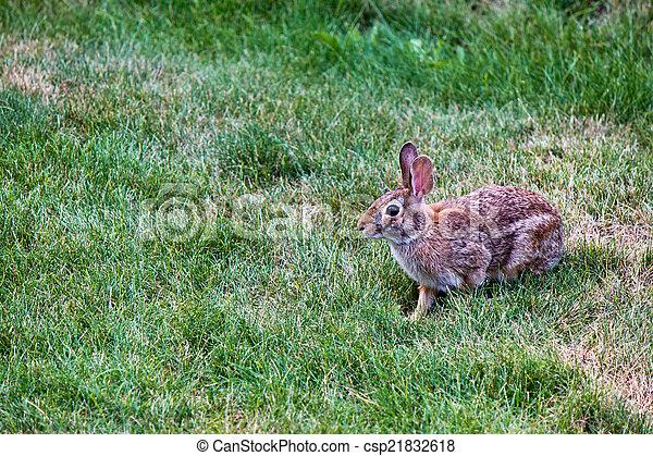 Rabbit in the yard - csp21832618